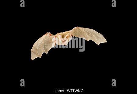 Pallid bat (Antrozous pallidus) in flight at night, Kaibab National Forest, Arizona, USA, July. - Stock Photo