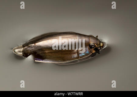 Whirligig / Gyrinidae beetle (Dineutus sp) swimming on pond, Central Texas, USA, March. - Stock Photo