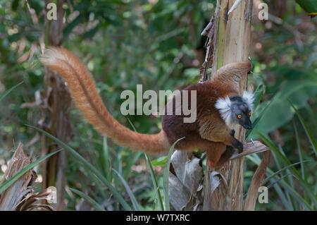 Black Lemur (Eulemur macaco) female, Nosy Komba, Madagascar