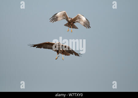Marsh Harrier (Circus aeruginosus), male and female in flight, Texel, the Netherlands, April. - Stock Photo