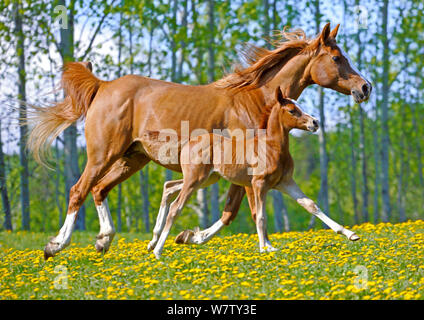 Beautiful chestnut Arabian Mare with few day old Foal galloping in a meadow of flowers. - Stock Photo