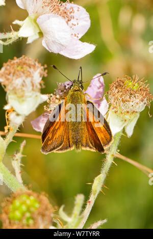 Female Large skipper butterfly (Ochlodes sylvanus / venatus) feeding on bramble blossom, Lewisham, London, UK, July. - Stock Photo