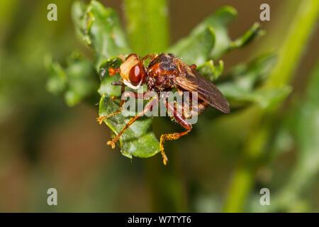 Thick-headed / Conopid fly (Sicus ferrugineus) covered in ragwort pollen, Lewisham, London, UK, July. - Stock Photo