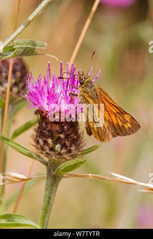 Male Large skipper butterfly (Ochlodes sylvanus) feeding on thistle, Lewisham, London, UK, July. - Stock Photo