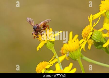 Thick-headed / Conopid fly (Sicus ferrugineus) feeding on ragwort, Lewisham, England, UK, August. - Stock Photo
