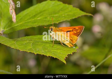 Male Large skipper butterfly (Ochlodes sylvanus) on bramble leaf, Lewisham, London, UK, July. - Stock Photo