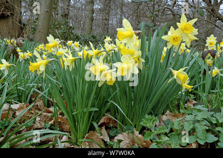 Wild Daffodils (Narcissus pseudonarcissus) growing in ancient woodland, Lesnes Abbey Wood, London Borough of Bexley, England, UK, March. - Stock Photo