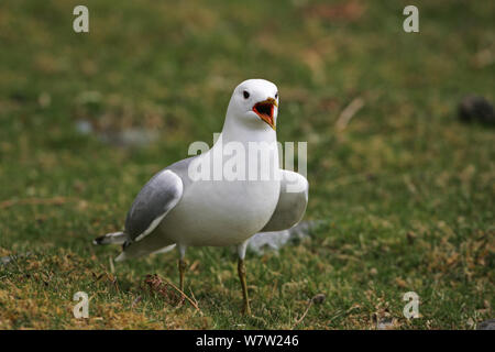Common gull (Larus canus) adult calling on grassland beside Loch na Keal, Isle of Mull Argyll and Bute, Scotland, UK, May. - Stock Photo