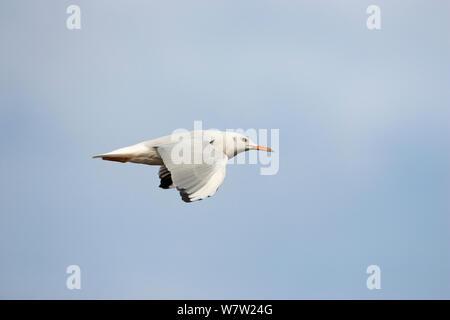 Slender-billed gull (Larus genei) in flight over Stagno di Cagliari, Sardinia, Italy, September. - Stock Photo