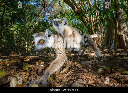 Female Ring-tailed Lemur (Lemur catta) foraging in leaf litter and carrying an infant (6-8 weeks). Berenty Private Reserve, southern Madagascar. - Stock Photo