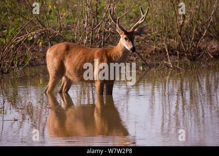 Marsh Deer (Blastocerus dichotomous) in water, Pantanal, Brazil. - Stock Photo