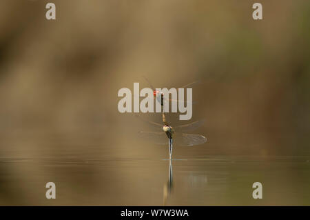 Red-winged / Red-veined Darter Dragonfly ( Sympetrum fonscolombii) laying eggs in small lake, Portugal, September. - Stock Photo