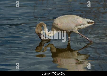 Lesser Flamingo (Phoenicopterus minor) juvenile feeding, Lake Nakuru National Park, Kenya. - Stock Photo