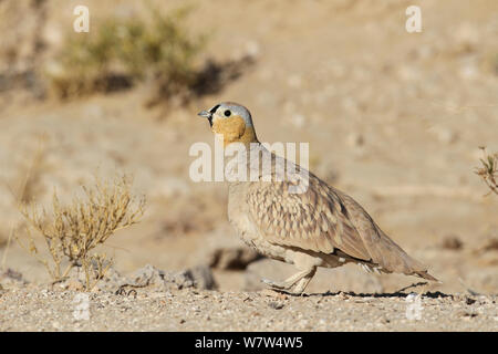 Crowned sandgrouse (Pterocles coronatus) male, Oman, January - Stock Photo