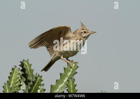 Crested lark (Galerida cristata) perched, stretching wings, Oman, April - Stock Photo
