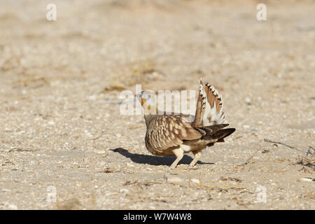 Crowned sandgrouse (Pterocles coronatus) male showing tail in display, Oman, January - Stock Photo