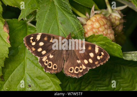 Speckled Wood butterfly (Pararge aegeria), Derbyshire, UK. September. - Stock Photo