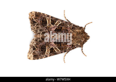 The Campion moth (Hadena rivularis)photographed in mobile field studio on a white background. Peak District National Park, Derbyshire, UK. August. - Stock Photo