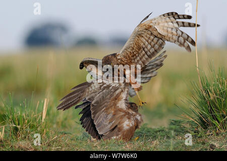 African marsh harrier (Circus ranivorus) attacking Yellow billed kite (Milvus aegyptius) Chobe River, Botswana. - Stock Photo