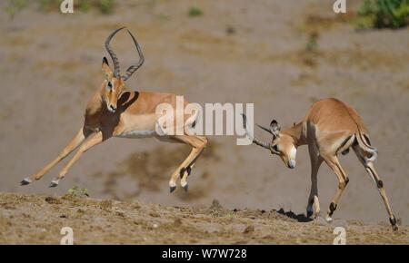Two young Impala (Aepyceros melampus) rams play fighting, Chobe River, Botswana, April. - Stock Photo