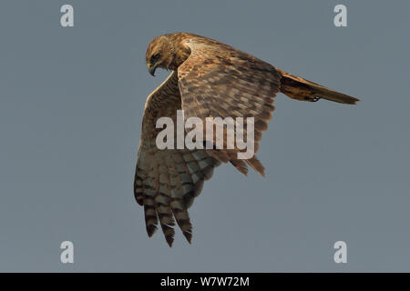 African marsh harrier (Circus ranivorus) in flight, Chobe River, Botswana, August. - Stock Photo