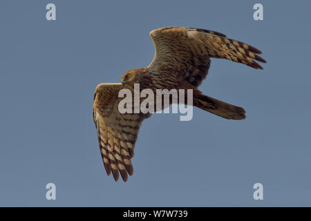 African marsh harrier (circus ranivorus) in flight, Chobe River, Botswana, November. - Stock Photo