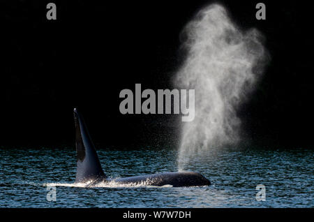 Killer whale (Orcinus orca) transient male exhaling, on the coastline, coastal, Vancouver Island, British Columbia, Canada, July. - Stock Photo