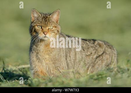 Wild cat (Felis silvestris) portrait, Vosges, France, June. - Stock Photo