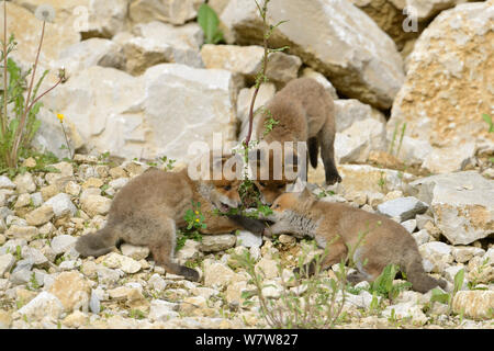Red fox (Vulpes vulpes) cubs play fighting amongst rocks, Vosges, France, May. - Stock Photo