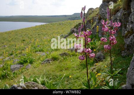 Martagon lily (Lilium martagon) in habitat, Aubrac, Auvergne, France, July. - Stock Photo