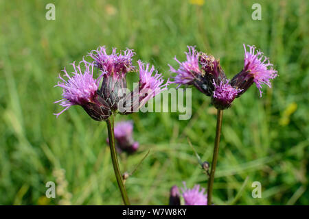 Saw-wort (Serratula tinctoria) flowering in a damp lowland meadow, Wiltshire, UK, July. - Stock Photo