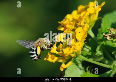 White-banded digger bee (Amegilla quadrifasciata), hovering as it nectars on Lantana flowers (Lantana camara), Kilada, Greece, August. - Stock Photo
