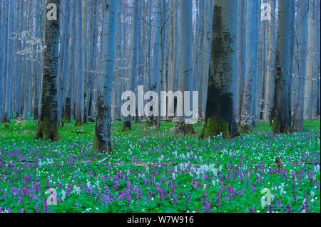 Holewort (Corydalis cava) flowering in European beech (Fagus sylvatica) forest, Eldena nature reserve, near Greifswald, Germany, April. - Stock Photo
