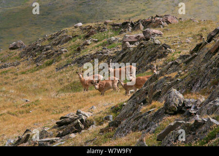 Siberian Ibex (Capra sibirica) in South East Altai Mountains,  Siberia, Russia. At border with Mongolia, August 2013. - Stock Photo