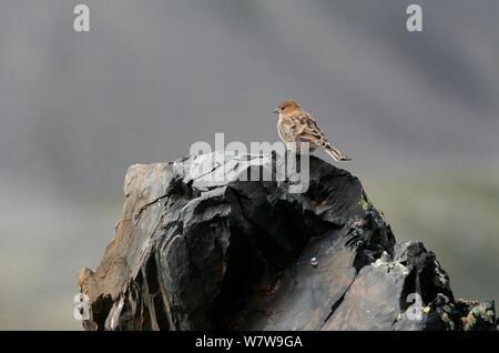 Plain Mountain finch (Leucosticte nemoricola) juvenile on rocks, Altai Mountains, Chuysky Range, Siberia, Russia, August. - Stock Photo