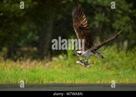 Osprey (Pandion haliaetus) flying from water with trout prey, Rothiemurchus, Scotland, UK, August. - Stock Photo