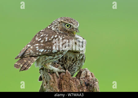 Little Owl (Athene noctua) parent with young, UK, May. - Stock Photo
