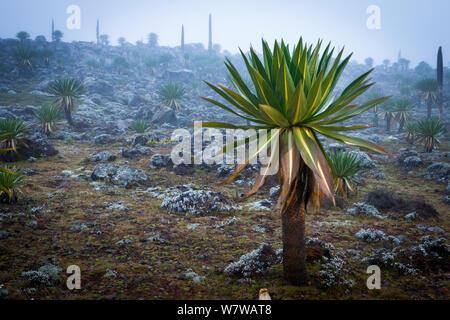 Giant lobelia (Lobelia rhynchopetalum) in mist on the Sanetti Plateau, Bale Mountains National Park, Ethiopia. - Stock Photo