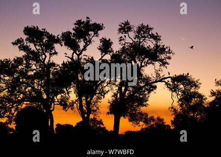 Yellow-billed stork (Mycteria ibis) colony silhouetted at dusk, South Luangwa National Park, Zambia. May. - Stock Photo