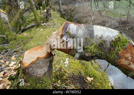 Downy birch tree (Betula pubescens) felled by Eurasian beaver (Castor fiber) within a large wet woodland stream enclosure, Devon, UK, March. - Stock Photo