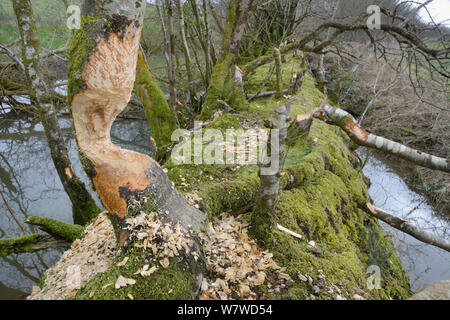 Downy birch trees (Betula pubescens) heavily gnawed by Eurasian beaver (Castor fiber) with others felled in the background, within a large wet woodland stream enclosure, Devon, UK, March. - Stock Photo