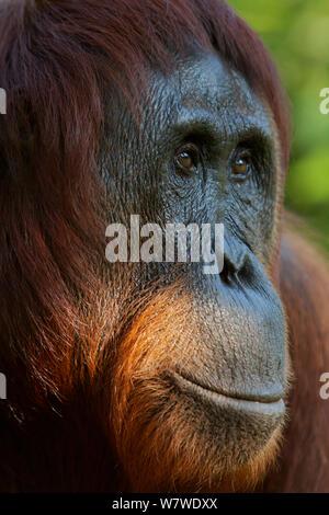 Bornean Orangutan (Pongo pygmaeus) female portrait, Tanjung Puting reserve, Camp Leakey, Central Kalimantan, Borneo.