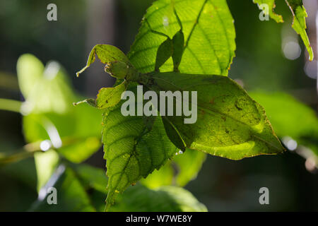 Celebes Leaf insect (Phyllium celebicum) Philippines. - Stock Photo