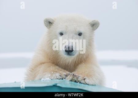 Polar bear (Ursus maritimus) portrait of a yearling along Bernard Spit, a barrier island, during autumn freeze up, along the eastern Arctic coast of Alaska, Beaufort Sea, September - Stock Photo