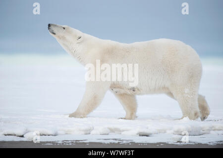 Polar bear (Ursus maritimus) sow walking on a barrier island during autumn freeze up, Bernard Spit, North Slope, Arctic coast of Alaska, September - Stock Photo