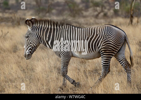 Grevy's zebra (Equus grevyi) walking, Samburu, Kenya, October, Endangered species. - Stock Photo