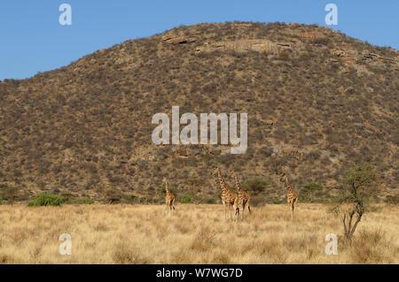 Four Reticulated giraffes (Giraffa camelopardis reticulata) in grassland, Samburu,Kenya, October 2013. - Stock Photo