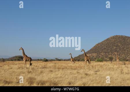 Four Reticulated giraffes (Giraffa camelopardis reticulata) in grassland, Samburu,Kenya, October. - Stock Photo
