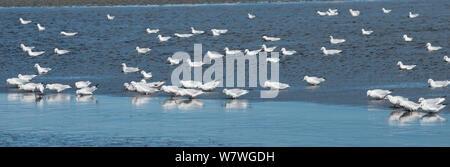 Slender bill gull (Larus genei) flock in the Salin de Giraud salt pans, Camargue, France, September. - Stock Photo