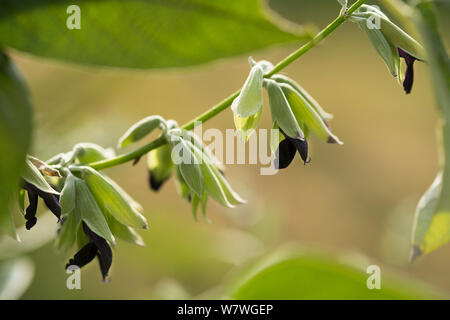 Andean silver-leaf sage (Salvia discolor) in flower, edible plant, Chassagnette Organic Garden, Arles, Camargue, France, October. - Stock Photo